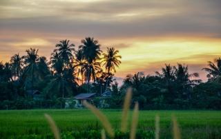 Pola ryżowe o zachodzie słońca. Penang, Malezja