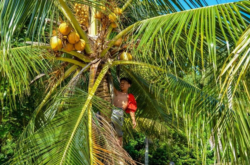 Kokosy są darmowe na plaży Panjang. Trzeba tylko umiejętności. Penang, Malezja.